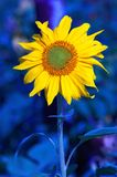 Sunflower. In deep blue Royalty Free Stock Photography