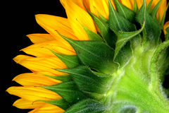 Sunflower. Close up of a sunflower stock images
