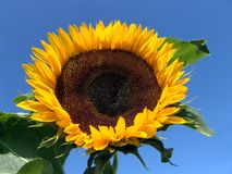Sunflower. And blue sky Royalty Free Stock Photos