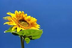 Free Sunflower Stock Image - 4851391