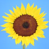 Sunflower. Isolated on blue background stock photo