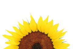 Sunflower. Isolated on white background royalty free stock photography