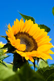 Sunflower. Yellow sunflower on blue sky as background Stock Images