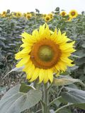 Sunflower. In garden stock images