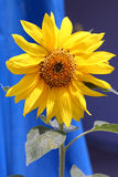Sunflower. Bright yellow sunflower with pollen on leaves set against a blue background royalty free stock photo