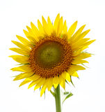 Sunflower. A Sunflower on isolated background ..easily remove the background then u can use this Stock Photo