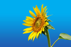 Sunflower. With clipping path on gradient background Royalty Free Stock Images