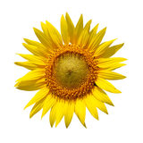 Sunflower. With clipping path on isolated background Stock Photography