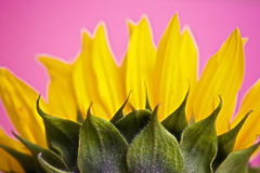 Sunflower. Shot from the unusual angle of underneath Stock Photography