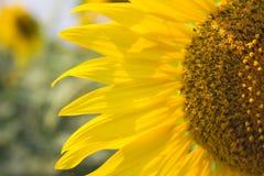Free Sunflower Stock Photo - 51922180