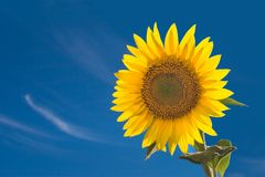Sunflower. Isolated sunflower against a blue sky Stock Image