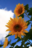 Sunflower. Selective focus Royalty Free Stock Image