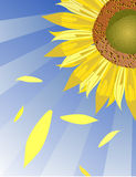 Sunflower. Vector sunflower background, macro illustration Royalty Free Stock Photography