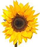 Sunflower. Bright Yellow sunlflower head isolated on white background Royalty Free Stock Image