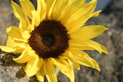 Free Sunflower Stock Photography - 54322