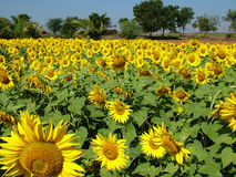 Free Sunflower Royalty Free Stock Image - 54626