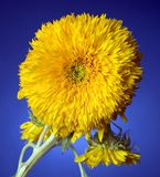 Sunflower. Teddy Royalty Free Stock Images