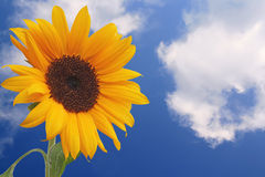 Sunflower. Isolated a blue sky background royalty free stock photography