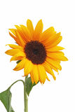 Sunflower. Isolated a white background stock photography