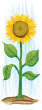 Sunflower. Illustration of a sunflower Royalty Free Stock Image