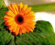 Sunflower. Decorative flower on the green leaves Royalty Free Stock Photography