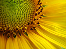Sunflower. Close up of a sunflower Stock Photos