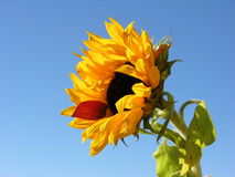 Sunflower. With red leaf on the edge stock photography