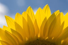 Sunflower. Nice sunflower in the sunshine Stock Images