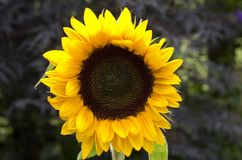Free Sunflower Royalty Free Stock Photos - 57148698