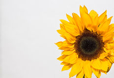 Sunflower. Vibrant Yellow Sunflower isolated on white background with copy space Stock Photo