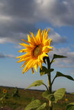 Sunflower. One of the last sunflowers royalty free stock images