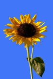 Sunflower-1 Arkivbild