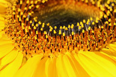 Within the Sunflower Royalty Free Stock Images