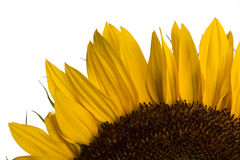 Sunflower. Detail on white background Royalty Free Stock Photography