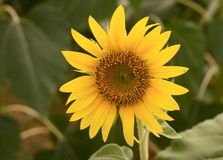 Free Sunflower Stock Photo - 5884590