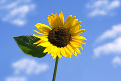 Free Sunflower Stock Photo - 5886600