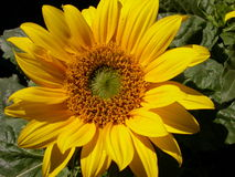 Sunflower. In August in the botanic garden of Munich stock photo