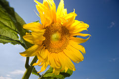 Sunflower. On deep blue sky Stock Image
