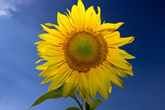 Sunflower. On deep blue sky Royalty Free Stock Images