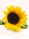 Sunflower. A sunflower on white background royalty free stock photography