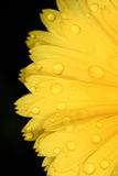 Sunflower. A closeup photo of a sunflower with water drops Stock Photo