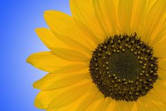 Sunflower. Closeup of sunflower against clear blue sky Royalty Free Stock Images