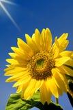 Sunflower. Sky giving a sunbath to a sunflower Stock Photography