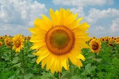 Sunflower. Big gold sunflower in the sunflower fild under the bluue sky Stock Images