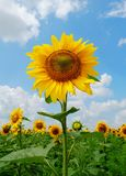 Sunflower. Big gold sunflower in the sunflower field under the blue sky Royalty Free Stock Photos