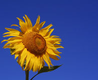 Sunflower. Single sunflower in front of a clear blue sky Stock Image