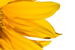 Sunflower. Isolated sunflower petals royalty free stock photos