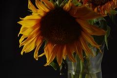 Sunflower. Still life under studio lighting of a sunflower in a galss vase Royalty Free Stock Photos