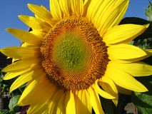 Sunflower. Yellow sunflower Royalty Free Stock Images