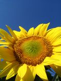 Sunflower Stock Image